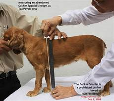 American Cocker Spaniel Size Chart Cocker Spaniel In Hdb Life Is Never Bored With A Jack