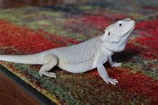 Bearded Dragon Color Chart 11 Types Of Bearded Dragon Morphs