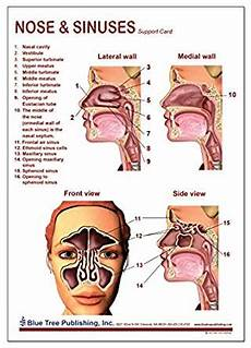 Sinus Anatomy Nose And Sinuses Anatomical Chart Laminated Card Science