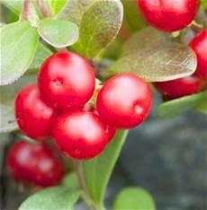 Bear Berry Health Benefits Of Bearberries