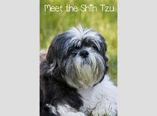 Meet the Shih Tzu   The Ultimate House Dog