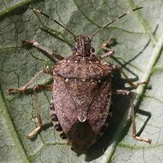 Brown Marmorated Stink Bug Brown Marmorated Stink Bug Pahl S Market