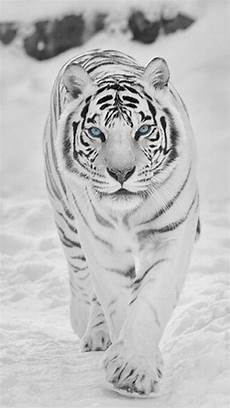 black and white tiger iphone wallpaper animal wallpaper black and white tiger wallpapers iphone
