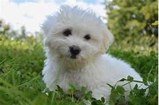 lille hund 243 n malt 233 s caracter 237 sticas y temperamento perro