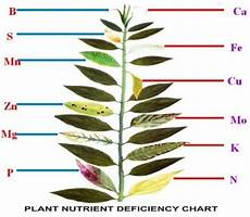 Nutrient Deficiency Chart Cannabis Plant Nutrient Deficiency Leaf Illustrations And Charts