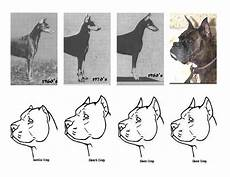 Bully Ear Crop Chart Call A Vet Earcropping And Taildocking Cel No 0949