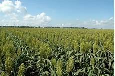 Crop Pricing U S Corn Supply Yield Estimates Lowered Still On Target