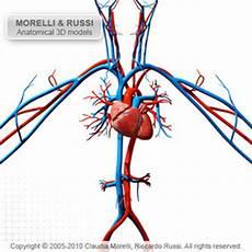 Circulatory System Organs Major Organs Tissues And Cells The Circulatory System