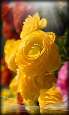 live flower wallpaper for desktop live flower wallpaper gallery