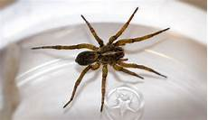 Light Brown Spider Florida 7 Spiders Commonly Found In Southwest Florida Catseye