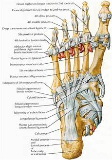 Foot Anatomy Chart Muscles That Lift The Arches Of The Feet