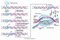 Transcription Biology Transcription Of Mrna From Dna Molecular Biology