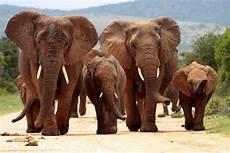Malvorlage Afrikanischer Elefant Afrikanischer Elefant
