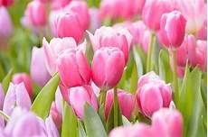 tulipani fiori come coltivare i tulipani non sprecare