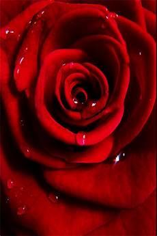 live flower wallpaper iphone iphone wallpaper hd