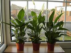 zimmerpflanzen luftreiniger frieden spathiphyllum innenhaus pflanze im topf