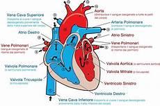 cuore e vasi alcune curiosit 224 sull anatomia cuore