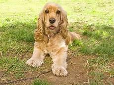 American Cocker Spaniel Size Chart Medium Sized Dogs Choosing The Best Breed Hill S Pet