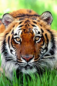 tiger wallpaper iphone 7 plus tiger in green grass animal iphone wallpaper