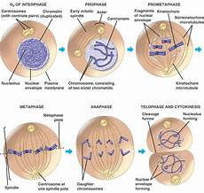 Interphase Chart Stages Of The Cell Cycle Mitosis Metaphase Anaphase