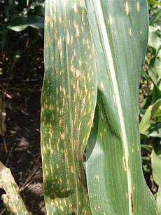 Leaf Blight Corn Disease Update Southern Rust Gray Leaf Spot And