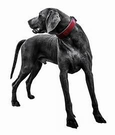 black labrador transparent png image pngpix