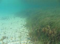 seagrass beds appear on navigational charts in love our lakes seagrass