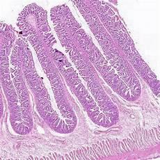 Small Intestine Slide Med Aid India Small Intestine Prepared Histology Slide