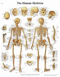 Anatomic Chart Anatomical Chart Human Skeleton System