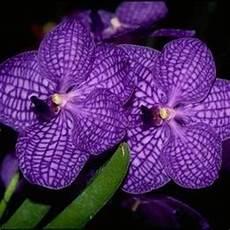 orchidee fiori appassiti vanda orchid