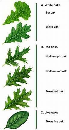 Oak Leaf Id Chart Types Ofoak Leaf Identification Chart Yahoo Image