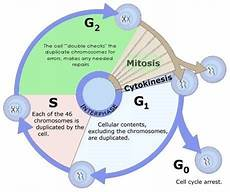 Interphase Chart Mitosis Cell Cycle Cell Division Pmf Ias
