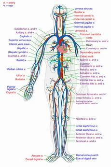Circulatory System Organs The Organ Systems Circulatory Wikibooks Open Books For