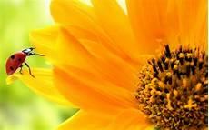 best flower desktop wallpaper hd sunflowers wallpapers top best hd wallpapers for desktop