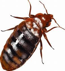 bed bug exterminators removal leo s pest