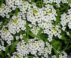 fiori da vaso perenni fiori da giardino perenni piante perenni giardino