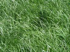 Fescue Hay Fescue High Yielding Forage Grass Or Toxic And