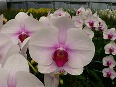 Light Pink Phalaenopsis Orchid White Pink Phalaenopsis Orchids All Year Light