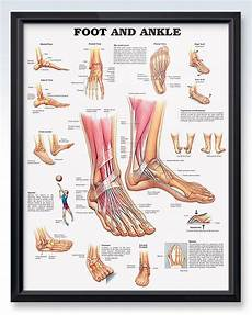 Foot Anatomy Chart Foot And Ankle Chart 20x26 Ankle Anatomy Foot Anatomy