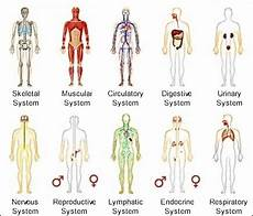 11 Body Systems The 11 Different Types Of Body Systems And Their Functions