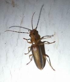 Small Light Brown Bug Small Brown Amp Black Flying Beetle Ant Looking Bug Oxacis