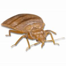 large bed bug transparent png stickpng