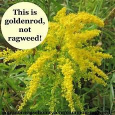 Ragweed Picture Common Ragweed Tips To Beat Ragweed Season Weekly