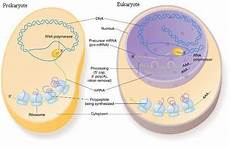 Prokaryotes Vs Eukaryotes Differences Between Prokaryotic And Eukaryotic Cells