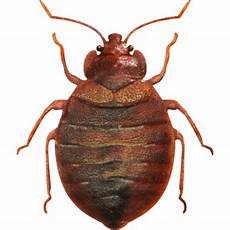 bed bug up transparent png stickpng