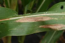 Leaf Blight Northern Corn Leaf Blight Of Corn Crop Protection Network