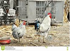 galline da cortile galline in di cortile rustico fotografia stock immagine
