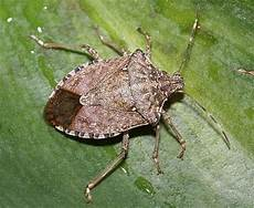 Brown Marmorated Stink Bug Stink Bugs Stink Science In Our World Certainty