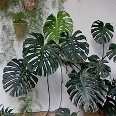 Monstera Deliciosa Light Bulk Tropical Fruit Salad Swiss Cheese Plant Monstera