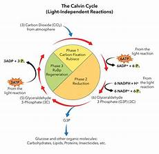 Does The Calvin Cycle Require Light Biology An Interactive Tour Ch10 Photosynthesis Top Hat